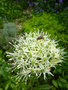 vignette Allium 'Mount Everest'