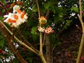 vignette Edgeworthia chrysantha red dragon au 05 03 13