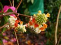 vignette Edgeworthia chrysantha red dragon gros plan au 05 03 13