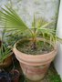 vignette washingtonia filifera 1-2