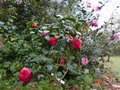vignette Camellias japonica Margherita Coleoni et williamsii Mary Phoebe taylor au 08 04 13