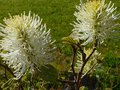 vignette Fothergilla Major