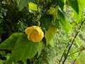 vignette Abutilon Canary bird au 22 05 13