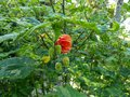vignette Abutilon Thompsonii au 07 06 13