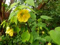 vignette Abutilon Canary bird gros plan au 13 06 13