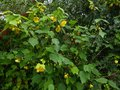 vignette Abutilon Canary Bird au 15 06 13