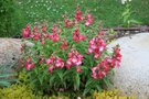 vignette Penstemon 'Le Phare'