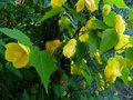 vignette Abutilon Canary bird gros plan au 07 07 13