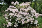 vignette Rhododendron 'Martha Isaacson'