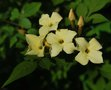 vignette Jasminum officinale 'Clotted Cream'