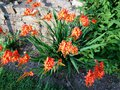 vignette Crocosmia masoniorum