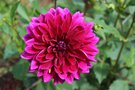 vignette Dahlia 'Lavender Perfection'