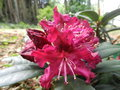 vignette Rhododendron 'Marie Fortie'