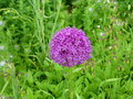 vignette Allium 'Gladiator'