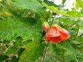 vignette Abutilon Thompsonii gros plan au 28 09 13