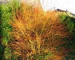 vignette Cornus sanguinea 'Winter Beauty'