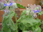 vignette Borago officinalis - Bourrache officinale