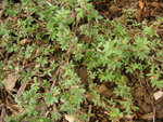 vignette Potentilla fructicosa - Potentille arbustive