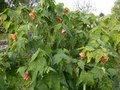 vignette Abutilon Thompsonii immense au 27 11 13