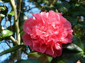 vignette Camellia 'Anticipation'