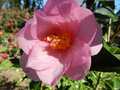 vignette Camellia 'Taylors perfection'