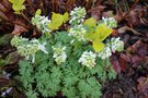 vignette Corydalis solida 'White Knight'