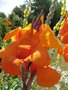 vignette Canna 'Wyoming' - Canna pourpre  fleur orange