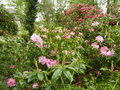 vignette Rhododendrons 'Pink pearl' et 'Cynthia'