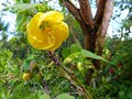 vignette Abutilon Canary bird gros plan au 11 05 14