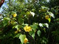 vignette Abutilon Canary bird au 11 05 14