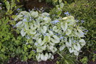 vignette Brunnera macrophylla 'Loocking Glass'