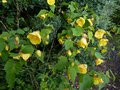 vignette Abutilon Canary bird au 25 05 14