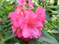 vignette Rhododendron 'Anna Rose Withney'