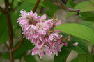 vignette Deutzia hybrida 'Strawberry Fields'