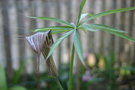 vignette Arisaema sp.