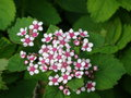 vignette Spiraea japonica 'Little Princess'