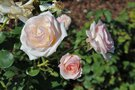 vignette Rosa 'Pretty Lady'