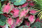 vignette Caladium 'Red Flash'