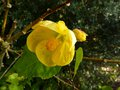 vignette Abutilon canary bird gros plan au 21 11 14