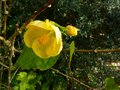 vignette Abutilon canary bird au 21 11 14