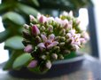 vignette Crassula Bride's bouquet