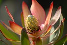 vignette Leucadendron 'Safari Sunset'