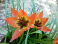 vignette Tulipa humilis 'Little Princess'