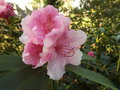 vignette Rhododendron 'Pink Pearl'