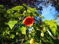 vignette Abutilon Thompsonii au 10 05 15
