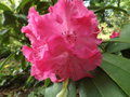 vignette Rhododendron 'Germania'