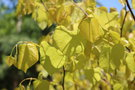 vignette Cercis canadensis 'Hearts of Gold'