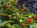 vignette Abutilon Thompsonii immense gros plan au 01 06 15