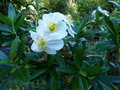 vignette Carpenteria californica au 08 06 15