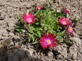 vignette delosperma jewel of the desert 'garnet'
